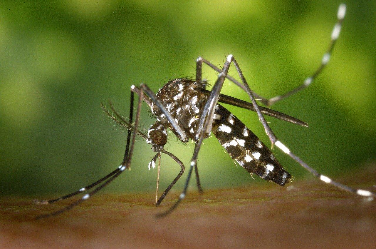 Tigermücke eine der größten Gesundheitsbedrohungen in Spanien